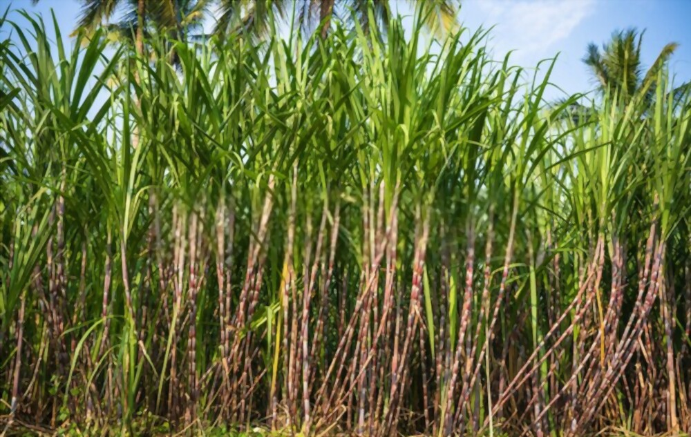 How To Grow Sugarcane?